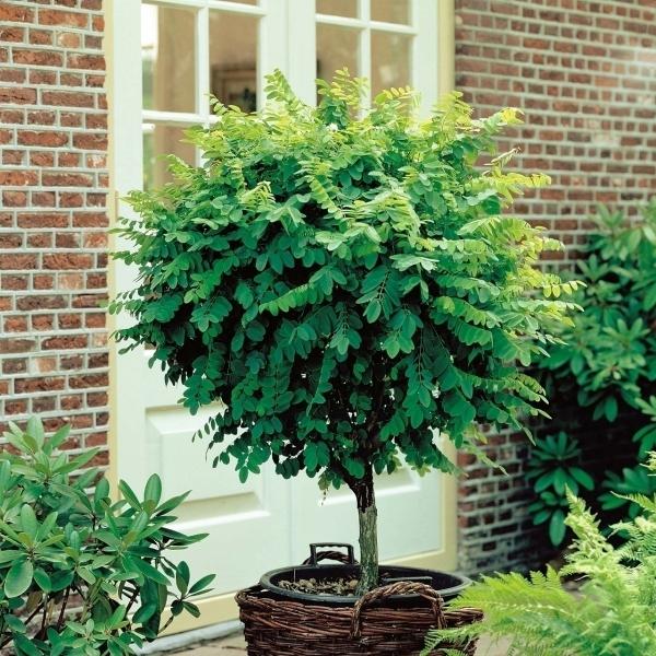 Eucalyptus Plant Buiten