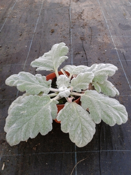 salvia argentea silberblatt salbei ausgewachsene pflanze 20 cm hoch in 17 cm topf. Black Bedroom Furniture Sets. Home Design Ideas